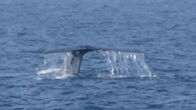 blåhval på Sri Lanka